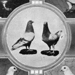 Train Pigeons.